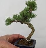 Bonsai Shohin Mädchenkiefer, Pinus pentaphylla, nr. 7104