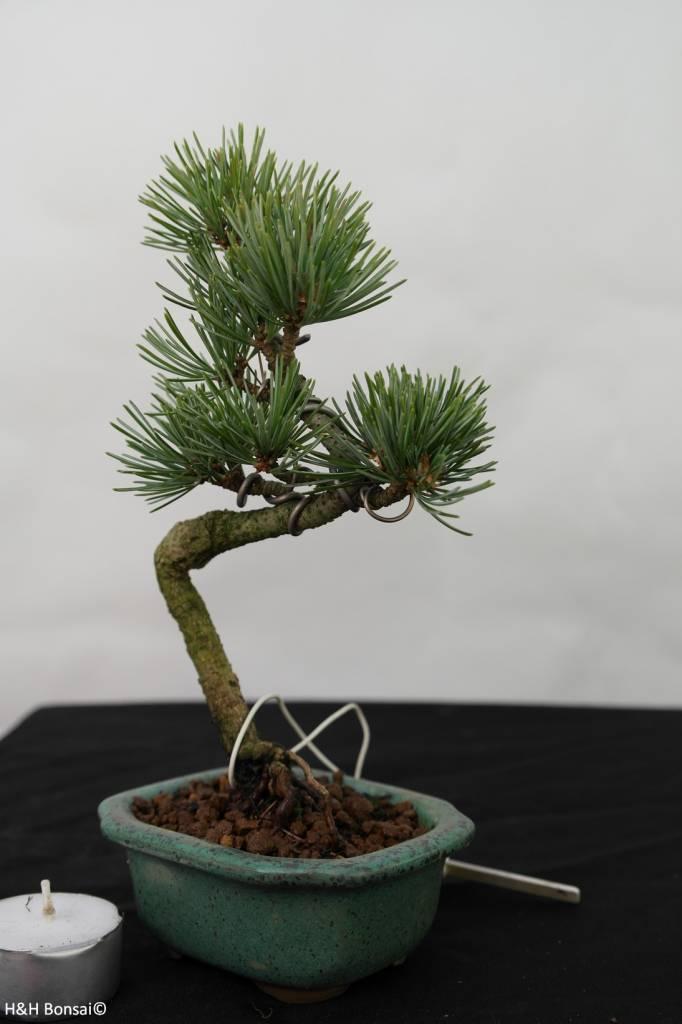 Bonsai Shohin Mädchenkiefer, Pinus pentaphylla, nr. 7105