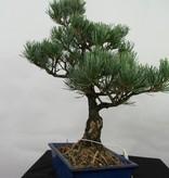 Bonsai Japanese White Pine, Pinus pentaphylla, no. 7110