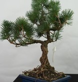 Bonsai Japanese White Pine, Pinus pentaphylla, no. 7113