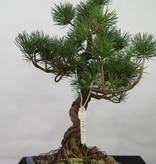 Bonsai Mädchenkiefer, Pinus pentaphylla, nr. 7113