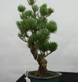 Bonsai Mädchenkiefer, Pinus pentaphylla, nr. 7114