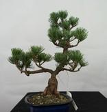 Bonsai Mädchenkiefer, Pinus pentaphylla, nr. 7115