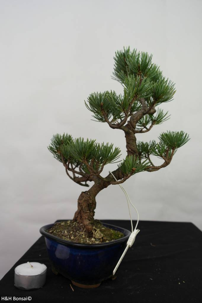 Bonsai Japanese White Pine, Pinus pentaphylla, no. 7115