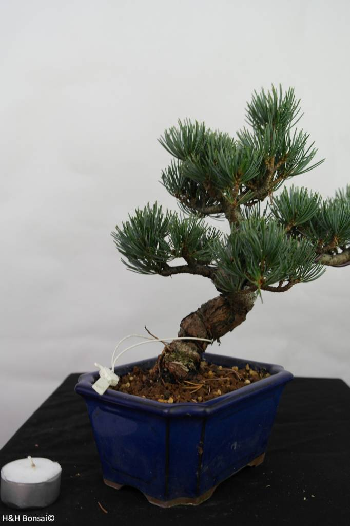 Bonsai Japanese White Pine, Pinus pentaphylla, no. 7116