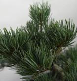Bonsai Mädchenkiefer, Pinus pentaphylla, nr. 7116