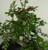 Bonsai Chin. Ulme, Ulmus, nr. 6587