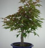 Bonsai Jap. Fächerahorndeshojo, Acer palmatum deshojo, nr. 6816