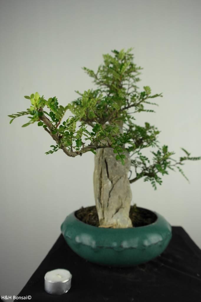 Bonsai Pfefferbaum, Zanthoxylum piperitum, nr. 6900