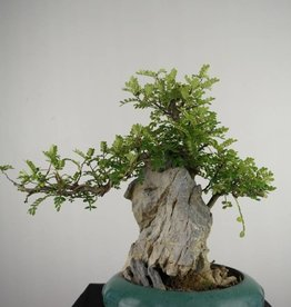 Bonsai Pfefferbaum, Zanthoxylum piperitum, nr. 6902