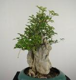 Bonsai Japanese Pepper,Zanthoxylum piperitum, no. 6902