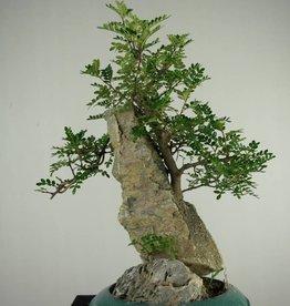 Bonsai Pfefferbaum, Zanthoxylum piperitum, nr. 6904