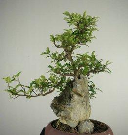 Bonsai Pfefferbaum, Zanthoxylum piperitum, nr. 6905