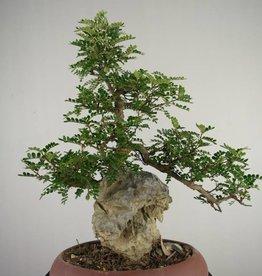 Bonsai Pfefferbaum, Zanthoxylum piperitum, nr. 6906