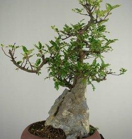 Bonsai Pfefferbaum, Zanthoxylum piperitum, nr. 6907