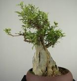 Bonsai Japanese Pepper,Zanthoxylum piperitum, no. 6907