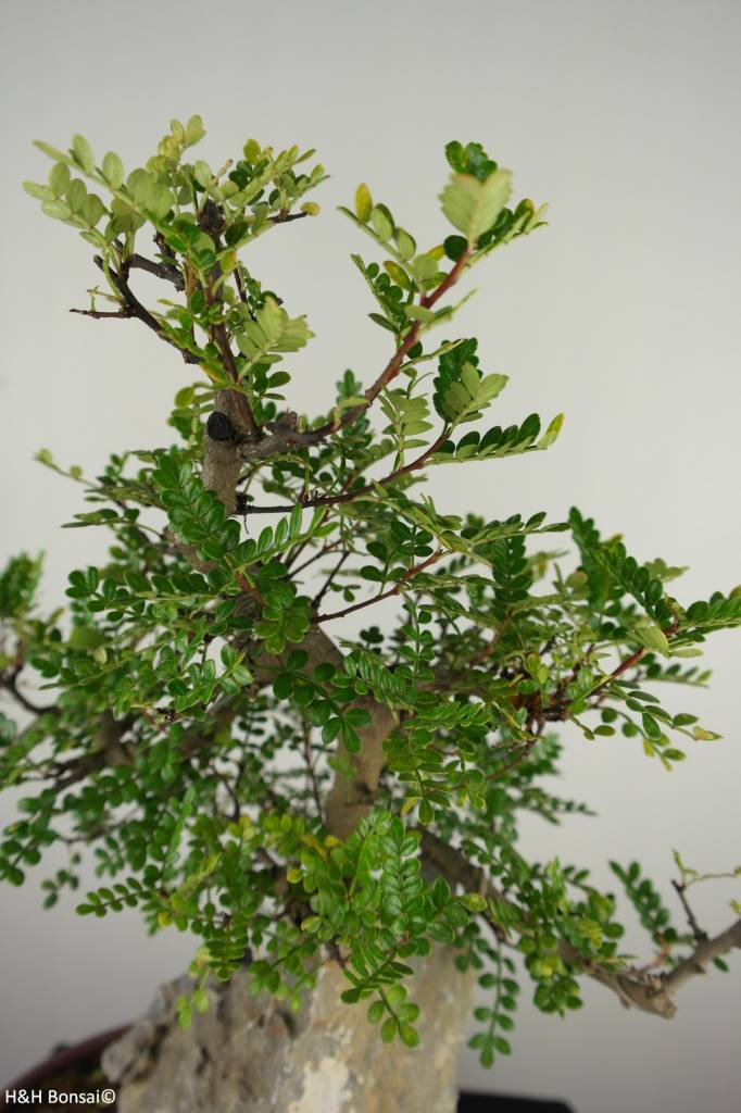 Bonsai Pfefferbaum, Zanthoxylum piperitum, nr. 6907