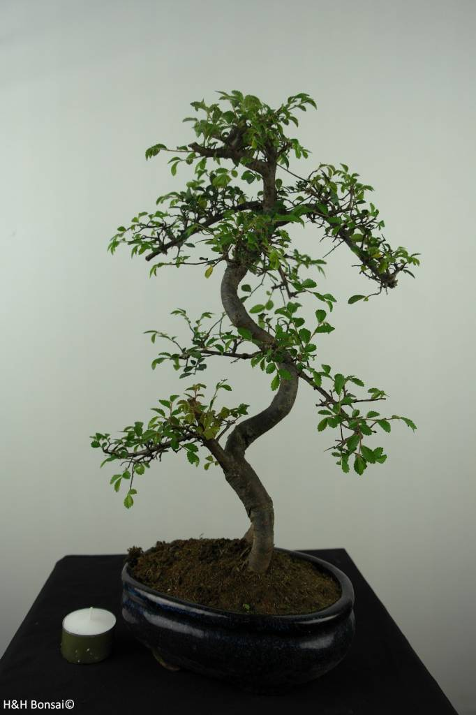 Bonsai Chinese Elm, Ulmus, no. 7124