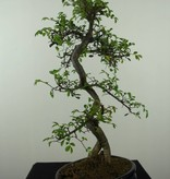 Bonsai Chin. Ulme, Ulmus, nr. 7124
