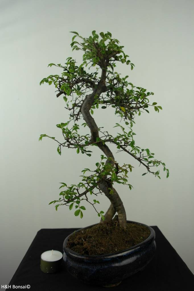 Bonsai Chin. Ulme, Ulmus, nr. 7124
