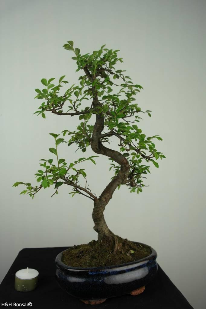 Bonsai Chin. Ulme, Ulmus, nr. 7126