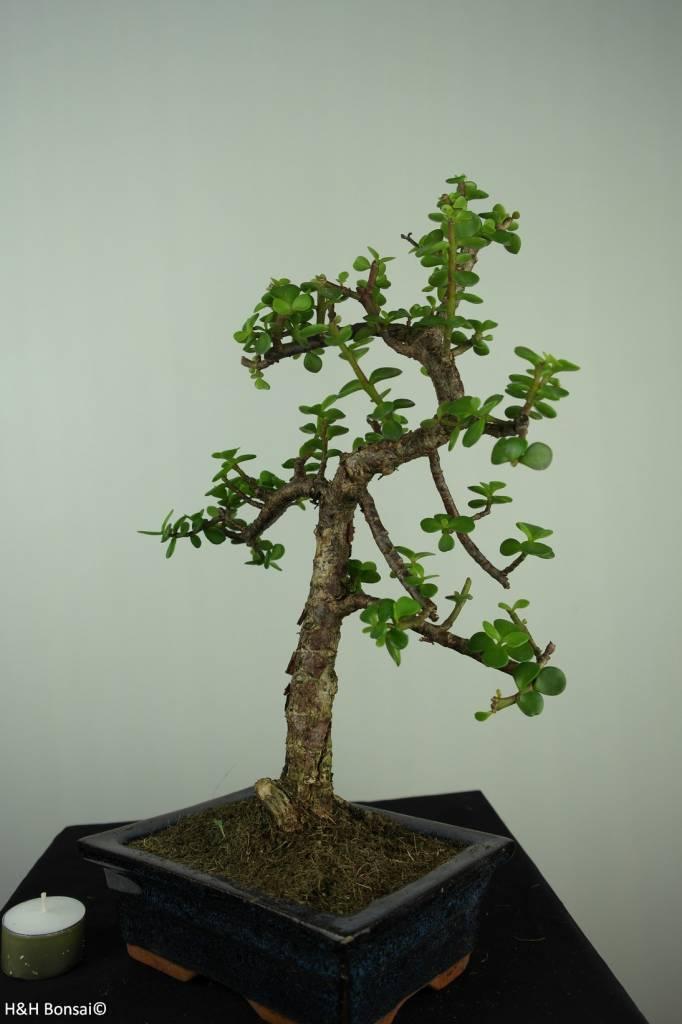Bonsai Jadebaum, Portulacaria afra, nr. 7133