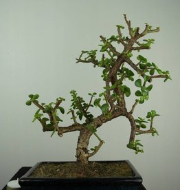 Bonsai Elephant bush, Portulacaria afra, no. 7134