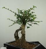 Bonsai Chin. Ulme, Ulmus, nr. 7146