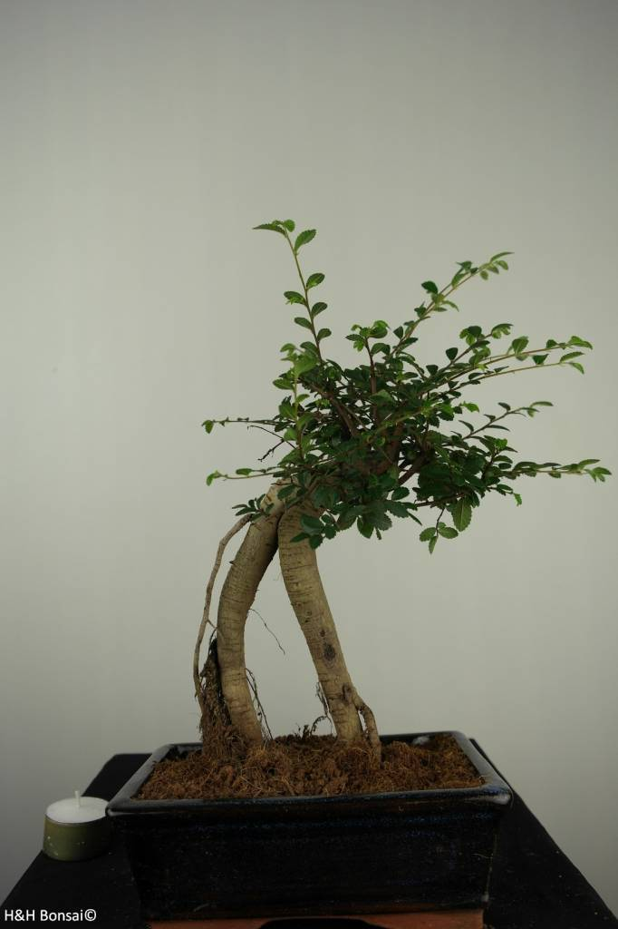 Bonsai Chin. Ulme, Ulmus, nr. 7149
