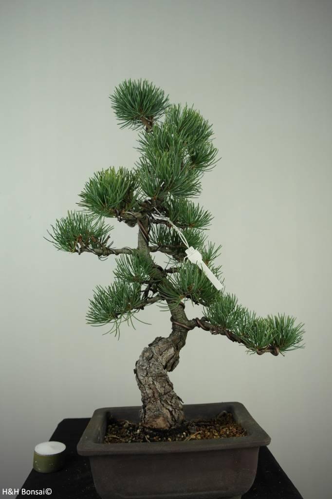 Bonsai Mädchenkiefer, Pinus pentaphylla, nr. 7150