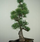 Bonsai Japanese White Pine, Pinus pentaphylla, no. 7150