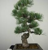 Bonsai Japanese White Pine, Pinus pentaphylla, no. 7155