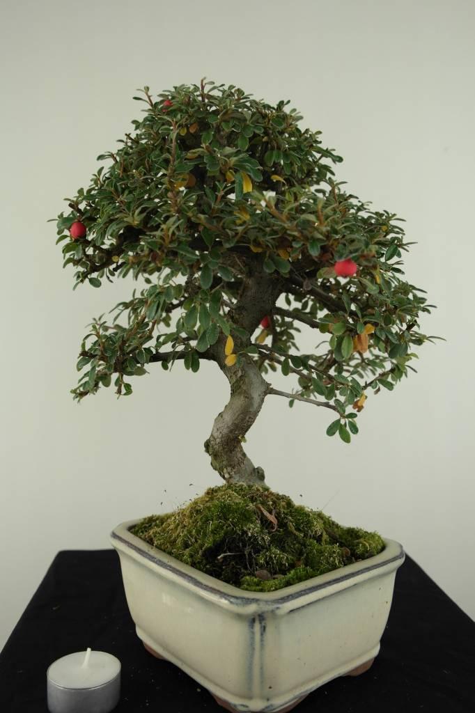 Bonsai Zwergmispel, Cotoneaster, nr. 6614