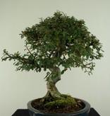 Bonsai Zwergmispel, Cotoneaster, nr. 6618