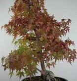 Bonsai Japanese maple, Acer palmatum, no. 6839