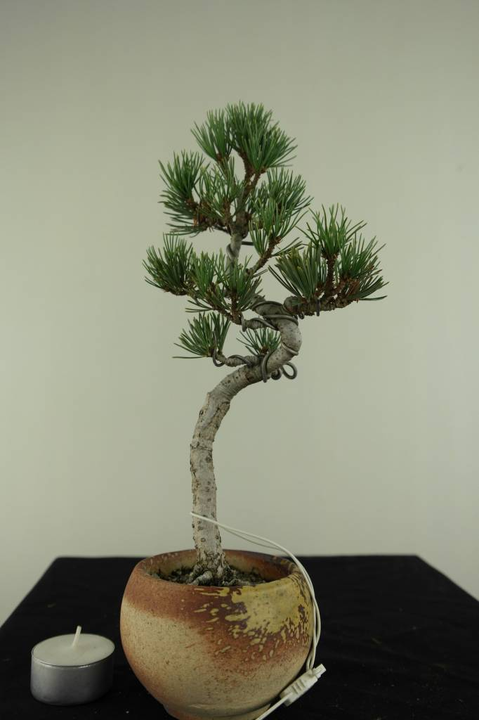 Bonsai Japanese White Pine, Pinus pentaphylla, no. 7063