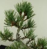 Bonsai Mädchenkiefer, Pinus pentaphylla, nr. 7063