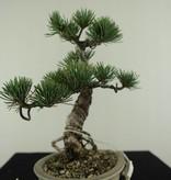 Bonsai Shohin Mädchenkiefer, Pinus pentaphylla, nr. 7064
