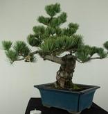 Bonsai Japanese White Pine, Pinus pentaphylla, no. 7065