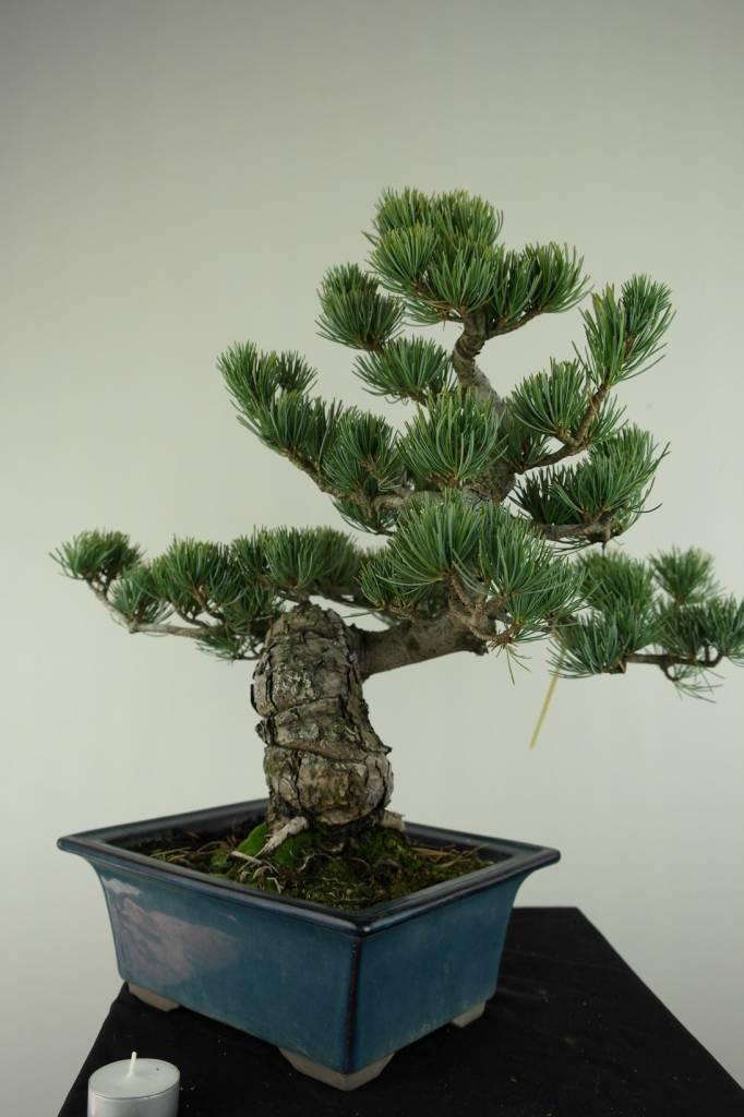 Bonsai Mädchenkiefer, Pinus pentaphylla, nr. 7065