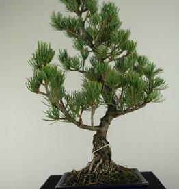 Bonsai Mädchenkiefer, Pinus pentaphylla, nr. 7073