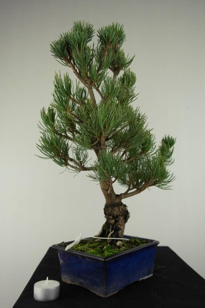 Bonsai Mädchenkiefer, Pinus pentaphylla, nr. 7075