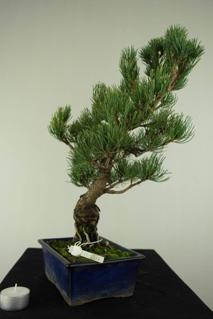 Bonsai Japanese White Pine, Pinus pentaphylla, no. 7075