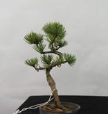 Bonsai Shohin Japanese White Pine, Pinus pentaphylla, no. 7109