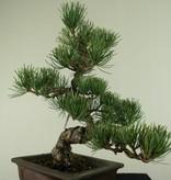 Bonsai Mädchenkiefer, Pinus pentaphylla, nr. 7152