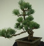 Bonsai Japanese White Pine, Pinus pentaphylla, no. 7152