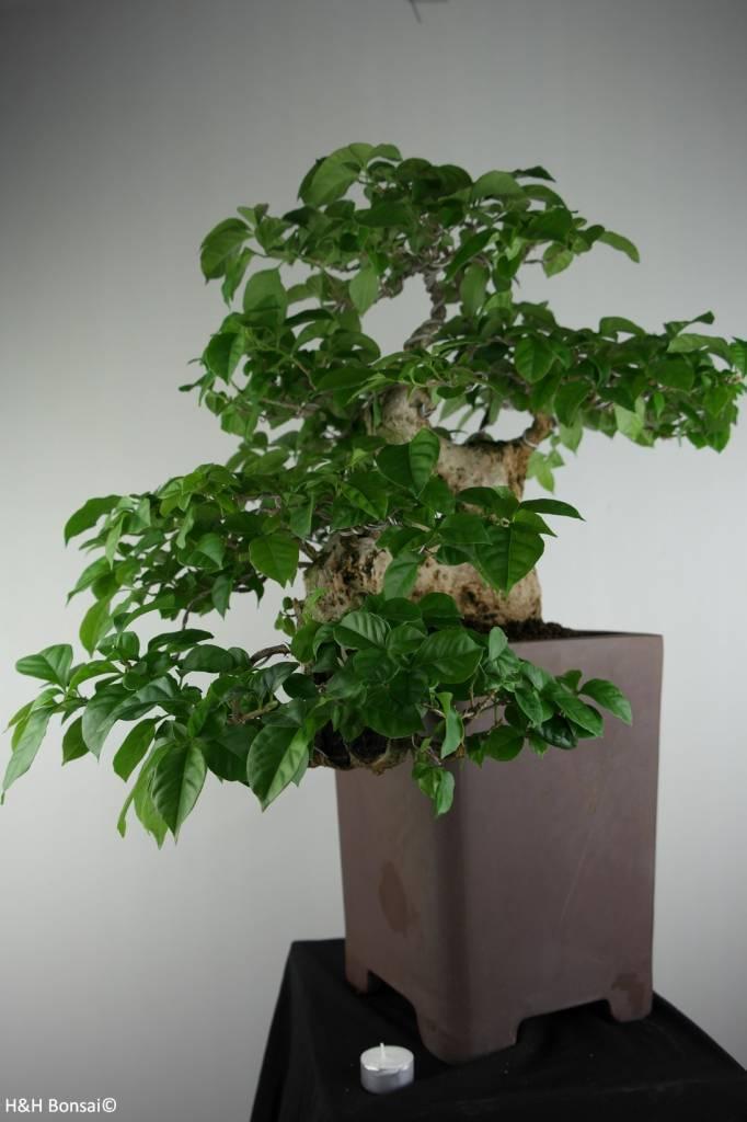Bonsai Bougainvillea glabra, no. 7162