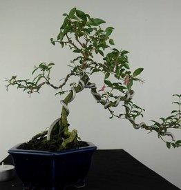 Bonsai Barbados Cherry, Malpighia coccigera, no. 7164