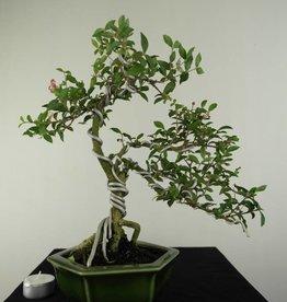 Bonsai Barbados Cherry, Malpighia coccigera, no. 7165