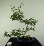 Bonsai Barbados Cherry, Malpighia coccigera, no. 7166